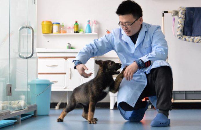 china cão clonado